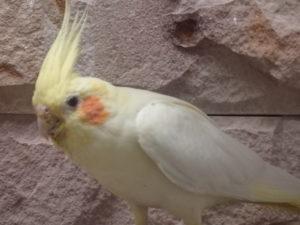 Busby - Female Cockatiel