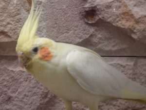 Busby the female cockatiel