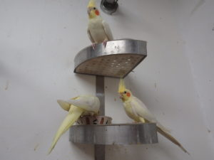 The cockatiels that raised the chicks