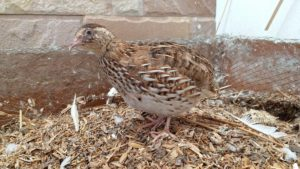 bird buddy quail in aviary