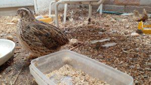 quail aviary birdbuddy